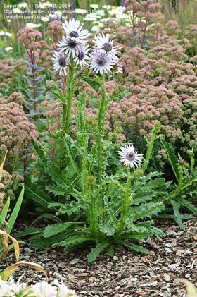 Berkheya purpurea flowers