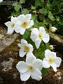 Rubus 'Beneden'
