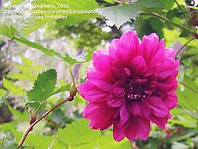 Rubus spectabilis flore-plena
