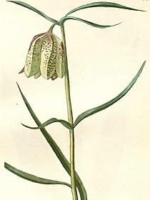 Fritillaria involucrata