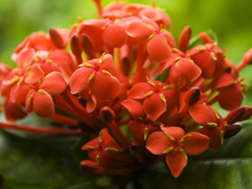 Ixora with iron deficiency symptoms