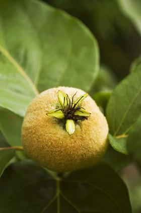 Cydonia oblonga immature fruit