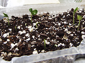 Stephanotis floribunda seedlings