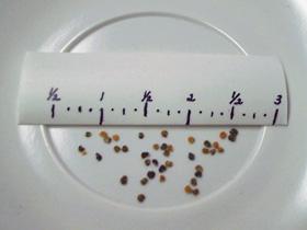 Matthiola incana seeds