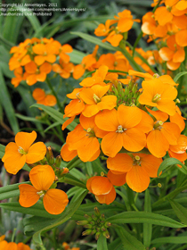 Erysimum x marshallii or allionii