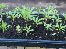 Erysimum seedlings